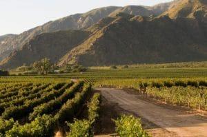 Argentinian vineyard