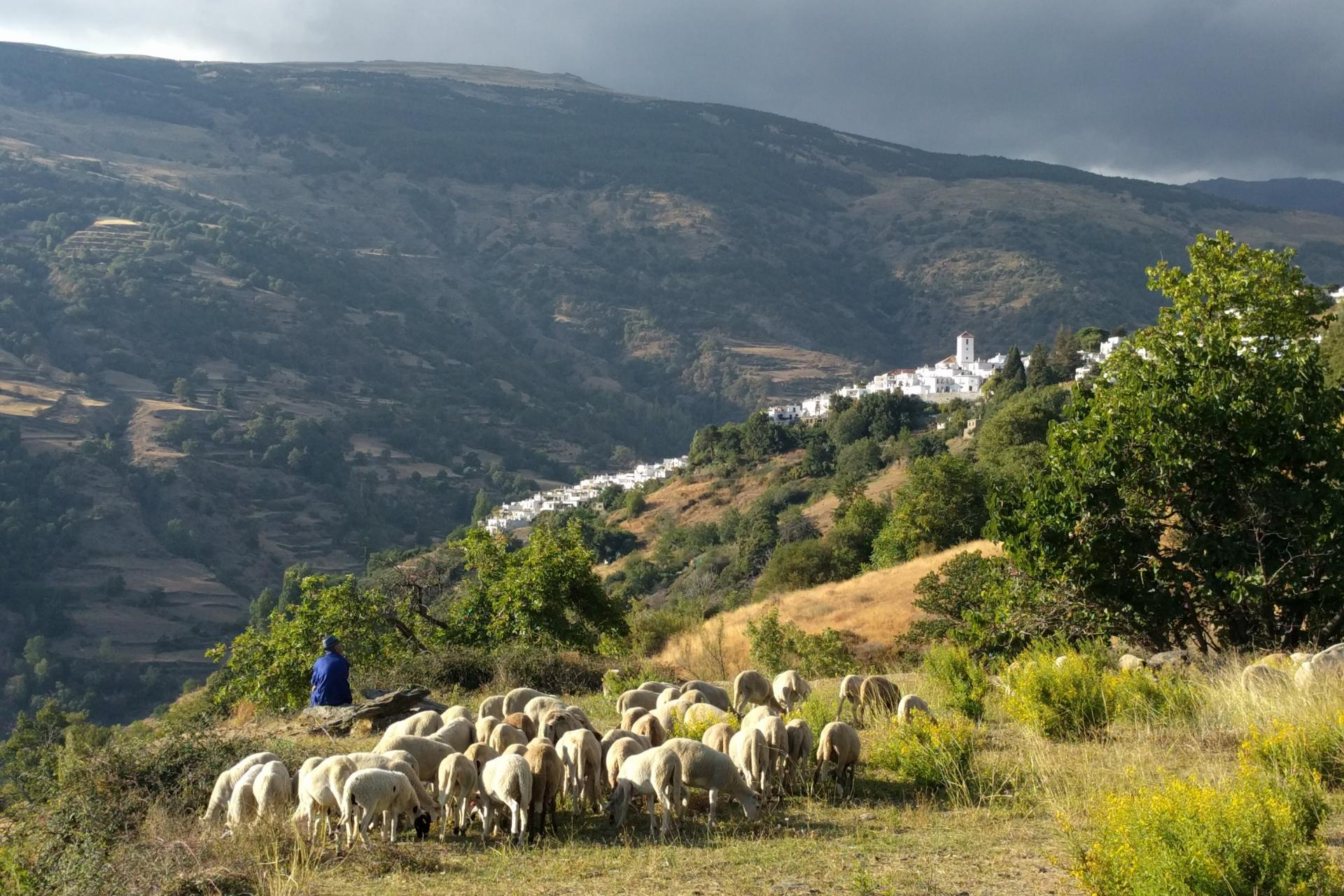 Flock of sheep in Andalusia