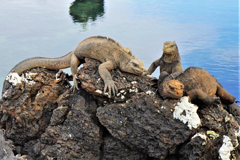 Galapagos iguanas on a rocky coastline