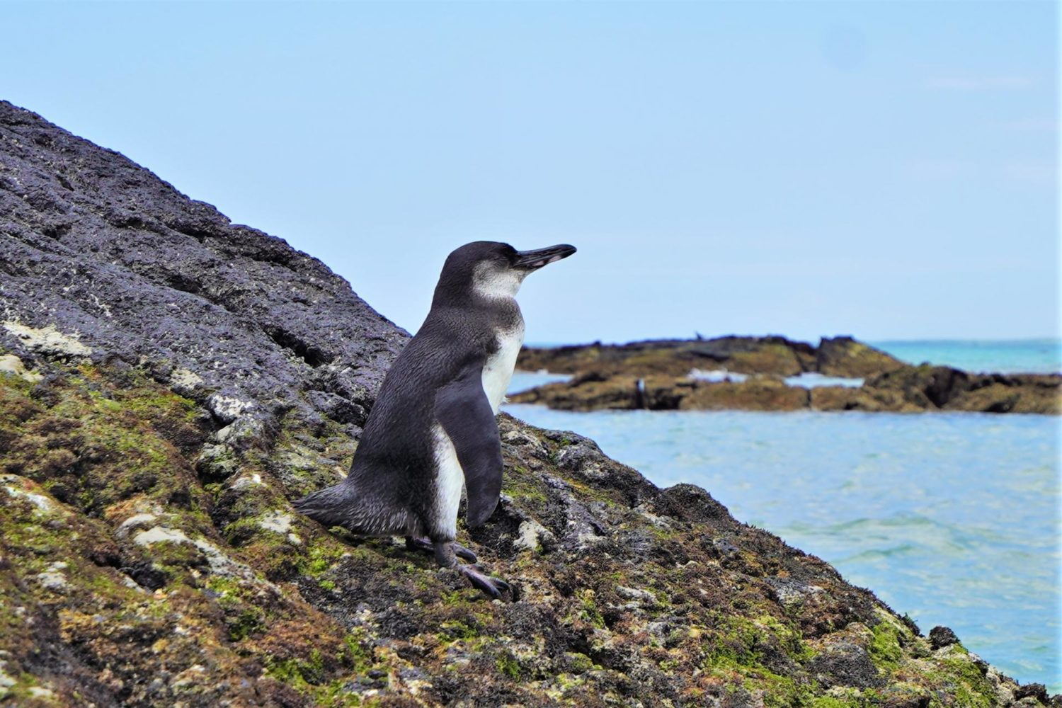 A Galapagos penguin by the seaside