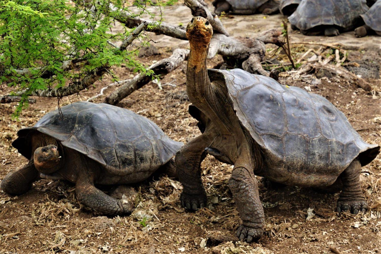 A Galapagos tortoise raising its head
