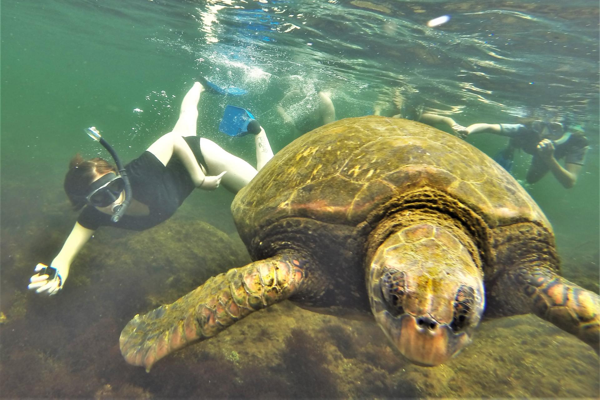 A snorkeller near a sea turtle