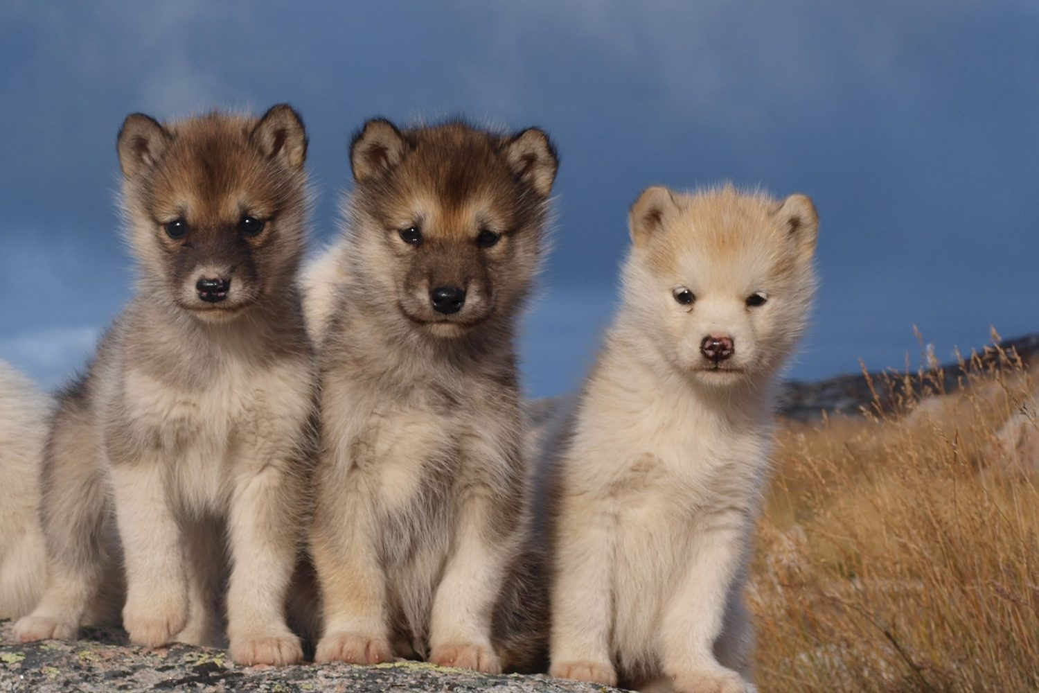 Sled dog puppies found in gorgeous, remote Greenland. Get away from it all!