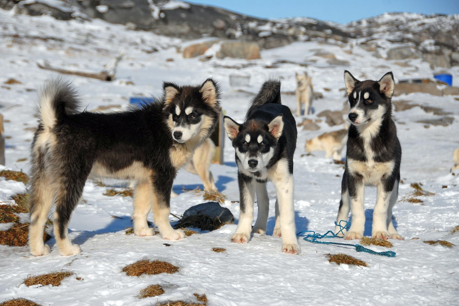 Sled dog puppies in Greenland!