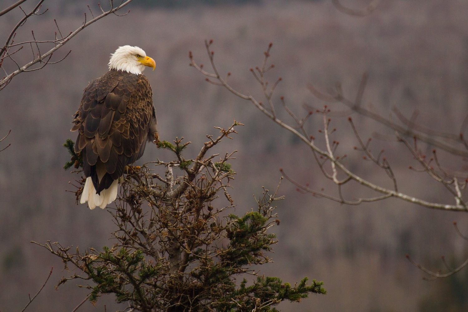 Bald eagles frequently seen in Nova Scotia